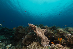 Die ausgezeichnete Unterwasserwelt des Roten Meers Lizenzfreie Stockfotografie