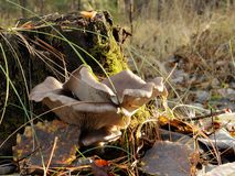 Die Austernpilzfamilie wächst im Wald auf einem Stumpf, der mit grünem Moos bedeckt wird lizenzfreie stockbilder