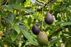 Die Avocado im Avocadobauernhof lizenzfreies stockfoto