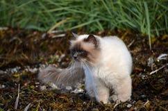 Die Azurblau gemusterte Katze, die das Seeunkraut herumstreicht, bedeckte Ufer stockfotos