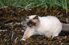 Die Azurblau gemusterte Katze, die das Seeunkraut herumstreicht, bedeckte Ufer lizenzfreie stockfotografie