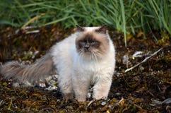 Die Azurblau gemusterte Katze, die das Seeunkraut herumstreicht, bedeckte Ufer für Opfer lizenzfreie stockfotografie