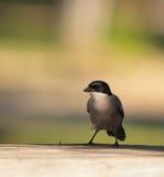 Die Azurblau-winged Elster stockfotografie