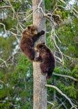 die Bär-Jungen, die Gefahr gerochen werden, sind auf einer Kiefer geklettert stockfotos
