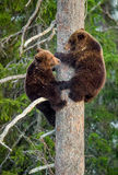 die Bär-Jungen, die Gefahr gerochen werden, sind auf einer Kiefer geklettert lizenzfreie stockbilder