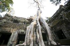 Die Bäume auf dem Gebäude von Angkor Wat, Kambodscha Lizenzfreie Stockfotos