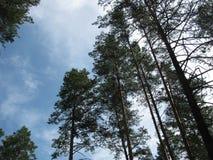 Die Bäume auf dem Hintergrund von Wolken Lizenzfreie Stockfotos