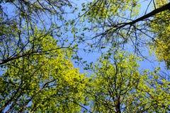 Die Bäume auf Hintergrund des blauen Himmels Lizenzfreie Stockfotos