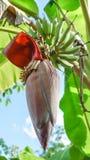 Die Bananenblüte Stockbilder