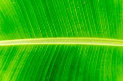 Die Bananenblattbeschaffenheit und -hintergrund Stockbilder
