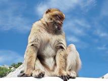 Die Barbary-Affen oder die Makaken-Affen von Gilbraltar Lizenzfreies Stockbild