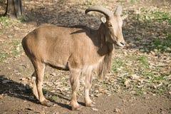 Die barbary-Schafe Stockfoto