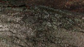 Die Barke des Baums mit grünem Moos stock footage