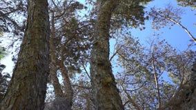 Die Barke eines schönen Koniferenbaums Die Kamera betrachtet oben den Niederlassungen des Baums stock video