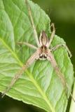 Die BaumschulenWeb spider/der Pisaura Mirabilis Stockbild