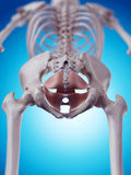 Die Becken- Bodenmuskeln lizenzfreie abbildung