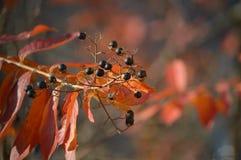Die Beeren auf einem Baum Stockbilder