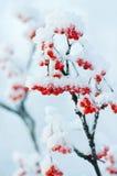 Die Beeren im Frost Stockfotografie