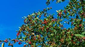 Die Beeren von Saskatoon Blauer Himmel stock footage