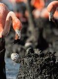 Die Befestigungsklammer in einem Nest eines Flamingos stiehlt Ei Stockfoto