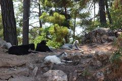 Die Bergschafe, die auf den Felsen im Wald liegen Lizenzfreie Stockfotos
