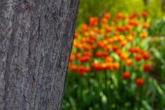 Die Beschaffenheit der Baumrinde auf einem unscharfen Hintergrund von orange Tulpen lizenzfreies stockfoto