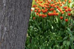 Die Beschaffenheit der Baumrinde auf einem unscharfen Hintergrund von orange Tulpen stockbild