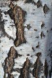 Die Beschaffenheit der Baumrinde einer Birke Schwarze und braune Sprünge in der Barke auf einem weißen Hintergrund mit Streifen Lizenzfreie Stockfotografie