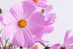 Die Beschaffenheit der dekorativen Blumen auf einem grünen Hintergrund Empfindliche Kosmosrosablumen auf Weiß Stockbild