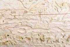Die Beschaffenheit des alten Naturholzes, der trockene gezierte Klotz wird durch kleine Sprünge, hat eine ungleichmäßige Farbe ge Stockfoto