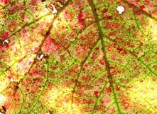 Die Beschaffenheit des alten Traubenblattes Stockfoto