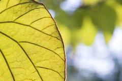 Die Beschaffenheit des Blattes mit dem Sonnenlicht Lizenzfreies Stockbild