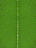 Die Beschaffenheit des grünen Blattes mit hellen Adern Lizenzfreie Stockbilder