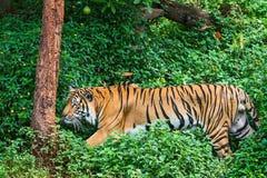 Die Beschaffenheit des Tigers Stockfotografie