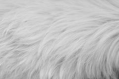 Die Beschaffenheit des weißen Pelzes Stockbilder