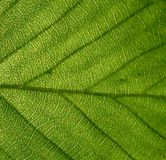 Die Beschaffenheit eines grünen Blattes lizenzfreies stockbild