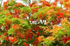 Die Beschaffenheit eines schönen Delonixbetriebsbaums mit roten ungewöhnlichen Blumen mit den Blumenblättern und den frischen grü lizenzfreie stockfotografie