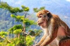 Die Bewässerung des Affen sitzt auf dem Hintergrund des mountainsgarden Erdbeerwassers vom Schlauch Stockbild