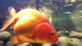 Die Bewegung, die von einem Goldfisch geschossen wird, ist, finden schwimmend und Nahrungsmittel stock video footage