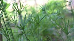 Die Bewegung von grünen Papyrusanlagen in der Natur stock video footage
