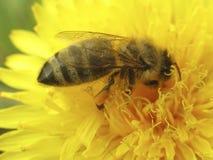 Die Biene Stockbilder