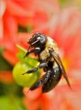 Die Biene Stockbild