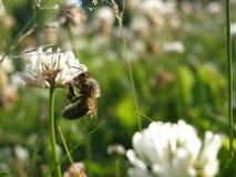 Die Biene Stockfoto