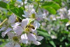 Die Biene auf Blume Stockfotos
