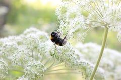 Die Biene auf der Blume stockbilder