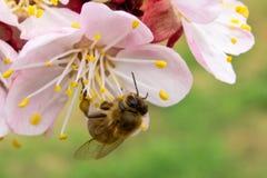 Die Biene bestäubt die Aprikosenblüte im Frühjahr stockfotografie