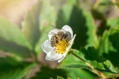 Die Biene bestäubt die Erdbeerblume Insekt auf einer weißen Blume Lizenzfreies Stockbild