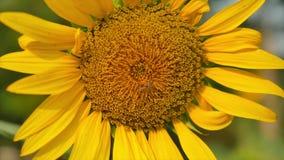 Die Biene, die das Süßwasser von der Sonnenblume findet stock footage