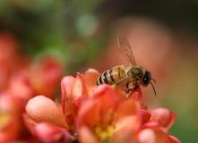 Die Biene, die auf dem Quittenblumenmakroschuß sitzt Stockfoto