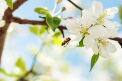 Die Biene fliegt zu Apple-Blüten, um Blütenstaub zu sammeln Stockfoto